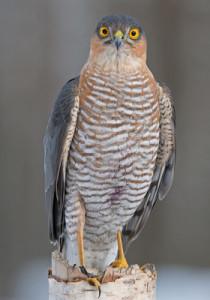 falconry-perepelyatnik