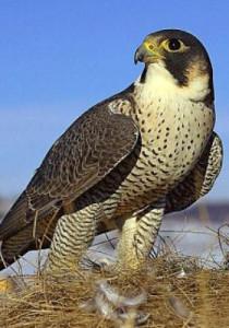 falconry-berkut